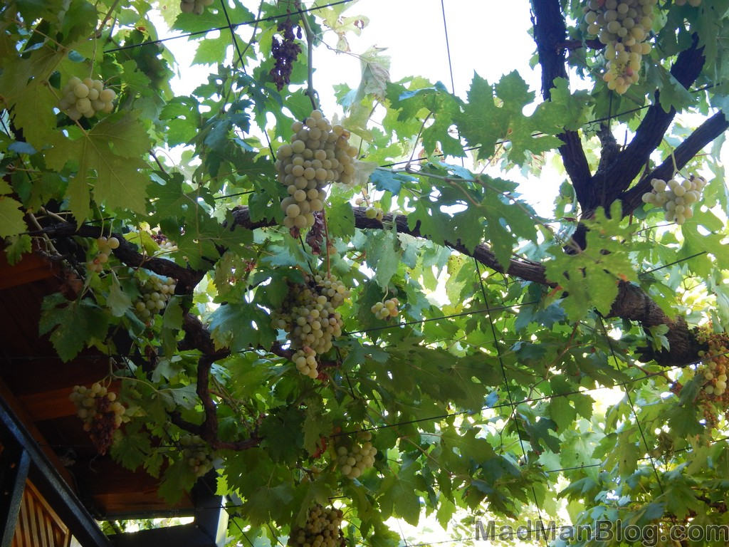Grapes in Bosnia
